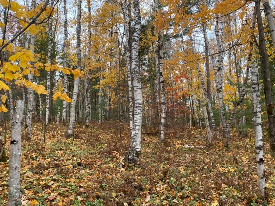 birches-new