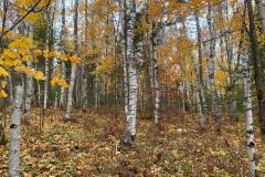 birches-new